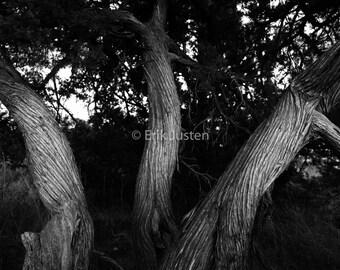 Twisted Trees, South Dakota Badlands- Limited Edition