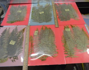 SALE Real Fern Grown in Alaska Pressed, Preserved, Dried 339 FL