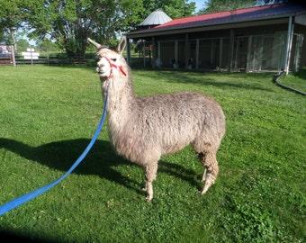 "Raw Alpaca Fiber, 5"" Staple, Light Rose Gray, 2.0 lbs, Harsh winter raised"