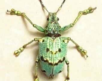 Rare Real Framed  Lamprocyphus Germari Male Metallic Green Beetle 7701