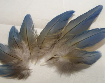 LP16-CHA-10-1 - Reserved for Doug Please - Tail Covert Feathers - Catalina Macaw - Light Blue