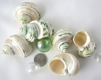 Beach Decor Turbo Shell - Nautical Decor Turbo Sea Shell - Beach Wedding Shells - Green Banded Turbo Shell - Beach House Decor - 6PC