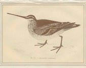 Common Snipe, French Game Bird Antique Bird Print 1884 French Country Style, Country Cottage Decor Hunting Decor, Etching Sepia/Gold 11