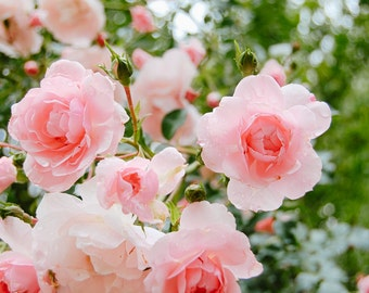 Light Pink Roses at the Descanso Gardens  - Floral Fine Art Photography Print