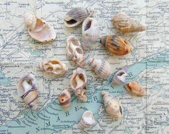 Irish Sea Shells Beach Shells from Ireland Whelk Shells Craft Shells Shells for Crafts or Jewellery Jewelry Making
