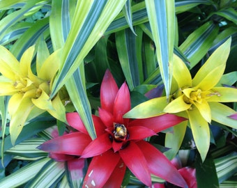 "ORIGINAL Photograph -- Aloha, Bromeliads, Tropical 8""x10"" Print"