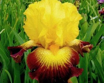 "Bearded Iris ""Burst of Glory"""