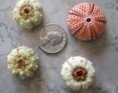 4 Greek Sea Urchin Specimens - SHIP FREE 1