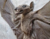 "16"" Sphinx Bat Specimen - SHIP FREE"