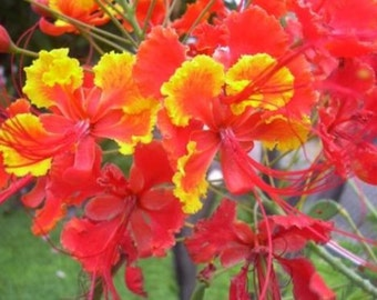 Thirty Pride of Barbados Seeds Grow Orange Yellow Red Flowers That Butterflies Love