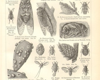 1904 Insects, Forest Bug, Backswimmer, Bishop's Mitre Shield Bug, Firebug, Bed Bug, Cicadas, Scale Insects, Crab Louse Antique Engraving