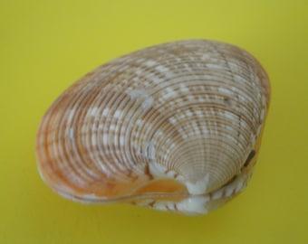 "Sea Shells Seashell 2.6"" Calista Erycina Clam Shell"