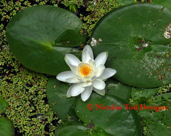 Water Lily - 1, nature photo