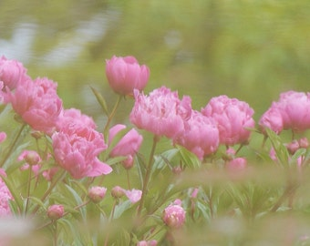 Peony Photo, Reflections, home decor, spring decor, cottage chic, wall decor, dreamy
