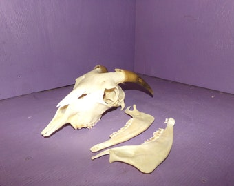 Real animal bone goat skull taxidermy horn teeth antler head part piece sheep man cave