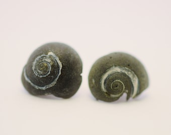 Ursula Moon Snail Stud Earrings - Black Fossilized Moonsnail Earrings - Mermaid Earrings - Charleston Shell Jewelry