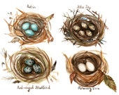 Different Bird Nests Study - Art Print of Original Watercolor robin eggs red winged blackbird dove nursery baby shower blue jay feathers