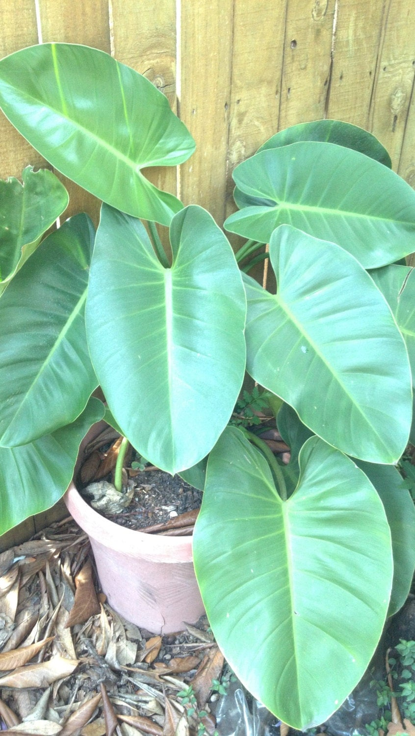 Huge Large Leaf Philodendron Pothos Devil 39 S Ivy Live