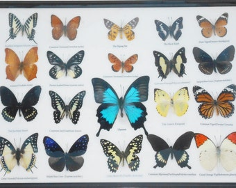 REAL 20 Butterflies Wall Decor Housewares Collectible TAXIDERMY Framed Extra ULYSSES/BTF14F