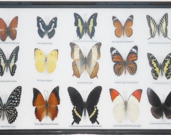 REAL 15 BEAUTIFUL BUTTERFLIES Collection in Frame/BF17X