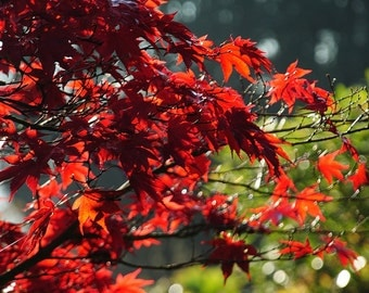 Sunlit Acer leaves (An A4 Photographic Print)