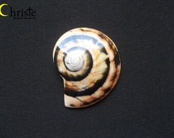 Sea Snail Shell Cabohon 39x42x7mm