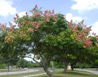 Chinese Flame Tree Seeds, Koelreuteria integrifolia, bipinnata - 25 Seeds