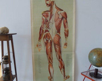Original Vintage Muscles Chart - Large Human Anatomy Poster - Germany 1960 - DeTeNeues