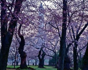 Cherry Blossoms at the Washington Monument, Washington, DC