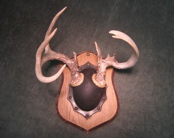 Mounted Non-typical Whitetail Antlers/Horns - Vintage