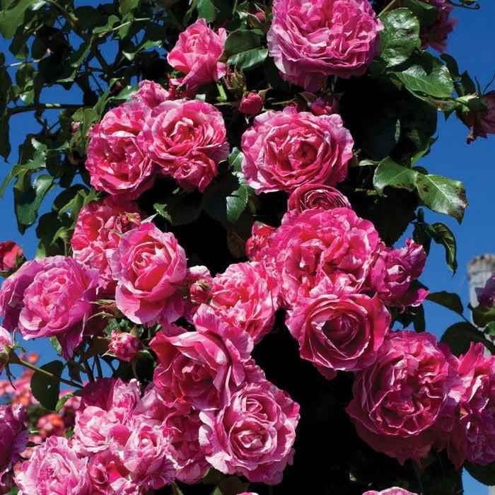 raspberry cream twirl rose bush 100 petals pink and white striped climbing rose plant organic. Black Bedroom Furniture Sets. Home Design Ideas