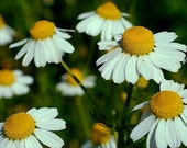 100 - Heirloom Chamomile Seeds - Heirloom Herb Seeds, Heirloom Flower Seeds, Medicinal Herb Seeds, Non-GMO Chamomile Seeds, German Chamomile