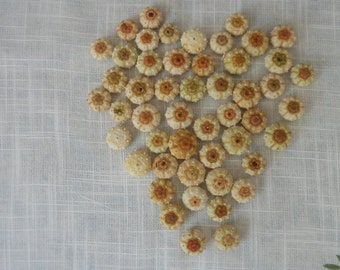 50 pcs small (tiny) sputkin sea urchins, Summer collection.