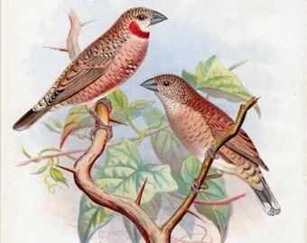 1899 Antique Bird Print Ribbon Finch Lithograph Nature Frohawk Vintage Bird Decor Vintage Bird Print
