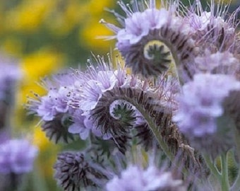 75+ Purple Lacy Fiddleneck Tansy Phacelia / Long Lasting Perennial Flower Seeds