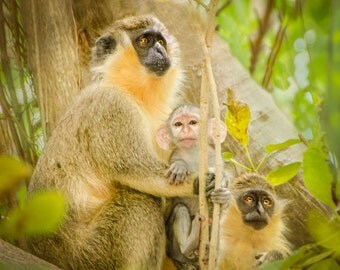Monkey family: 8x10 wildlife photography print.