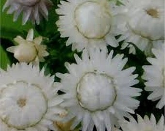 Strawflower  White- 200 Seeds