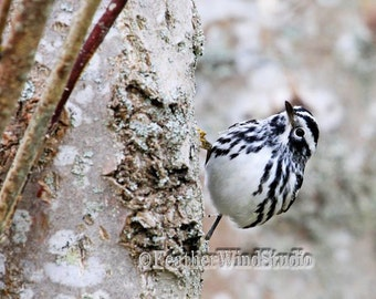 Black and White Warbler | Fine Art Songbird Photography | Spring Nature Wall Art | Bird on Tree Trunk | Tropical Migrant | Warbler Art Print