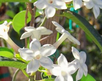 Stephanotis floribunda Madagascar Jasmine Gallon Plant free ship