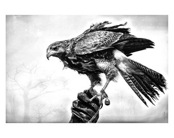 The Partnership, is a High quality Fine Art digital download of a Harris Hawk sitting on its handlers gloved hand. BW jpg with white border.