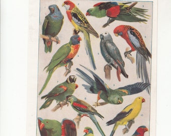 "C1920s Color Print PARROT: Multicolored Representatives From Three Continents 6"" X 9.5"""