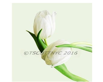pair white tulips, clip art isolated, art photography download,flowers, design element,instant print, wall art,
