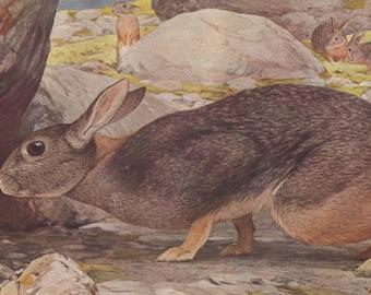 Hare original 1922 art print - Natural history, wall decor, jackrabbit, bunny - 94 years old German antique lithograph illustration (C107)
