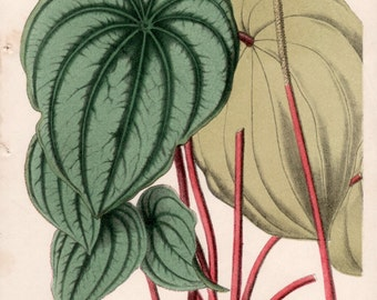 1867 Botanical Print, Plant Illustration, Peperomia argyreia, Antique Print, Piperaceae Plant, Vintage Lithograph, Botany Art Print