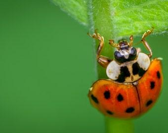 Digital Download: Ladybug photo