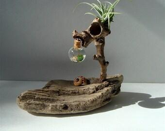Ecosphere Driftwood Marimo Moss Ball Zen Tiny Terrarium #F