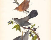 1890 Audubon Bird Print - Wren Cat Bird- Vintage Antique Book Plate for Natural Science or History Lover Great for Framing 100 Years Old