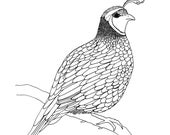 Cute little quail Colouring page