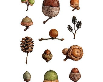 Acorns Watercolor Painting, Woodland Nature Art Print 5x7