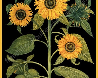 antique botanical print sunflowers tournesol illustration black background digital download